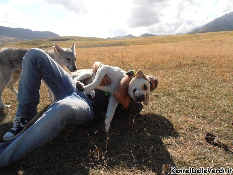 cane-lupo-cecoslovacco