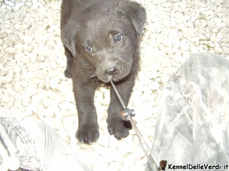 labrador-retriever-19